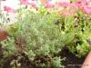 plantes_aromatiques_hort_urba_crae_salt_2