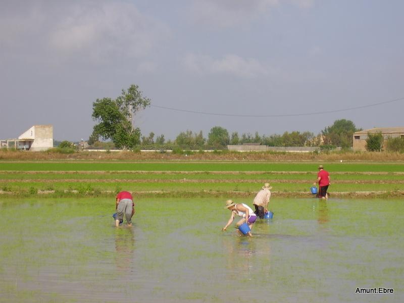 Plantació d'arròs a Deltebre